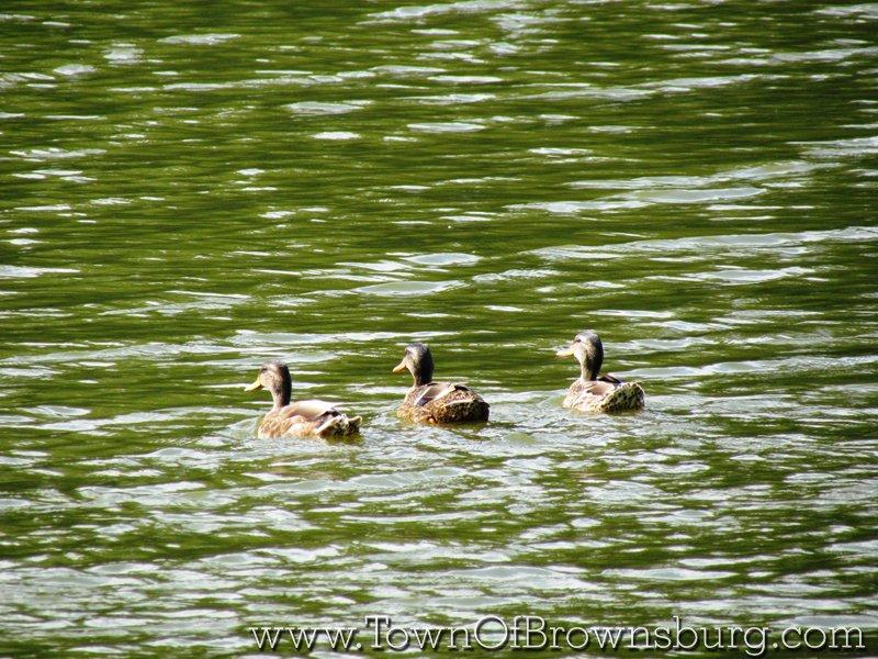 Mallard Crossing, Brownsburg, IN: Wildlife