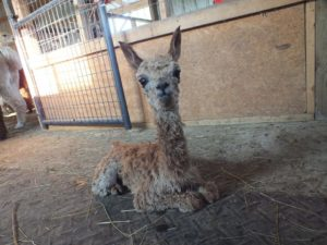 Meet Melina and other alpacas at Montrose Farms. Photo courtesy of Montrose Farms Facebook page.